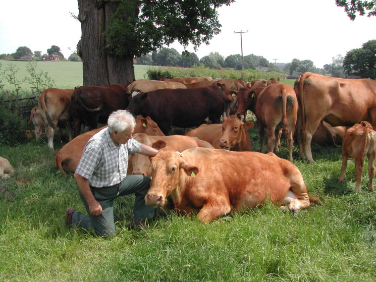 Sam Frederick with South Devon cow