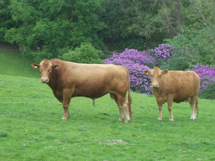 South Devon bull and cow at Tubs Hole, Coldharbour Farm | Simon Frederick